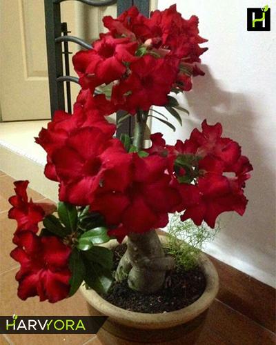Bunchy Red Single Petal Dark Adenium Bonsai Plant Flowering Plants And All Varieties Of Garden Online In India