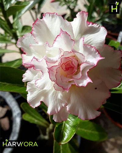 White Angel Triple Petal And Rose Colored Adenium Bonsai Flowering Plant Plants All Varieties Of Garden Online In India