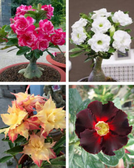 Buy Adenium Plants Online India, UPTO 70% OFF | Harvyora