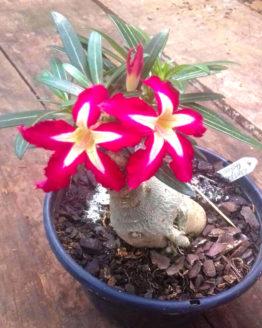 buy adenium online adenium plants all season flowering plant